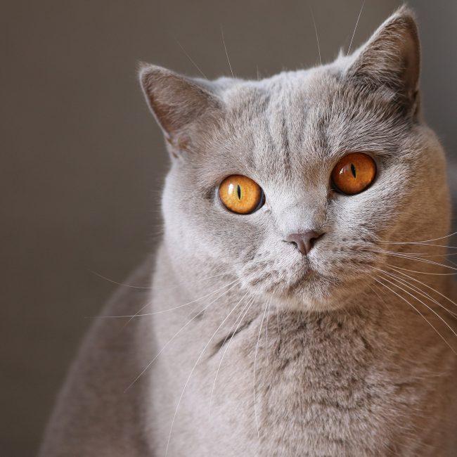 Amber cat